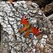 farfalla by Jacopo Photo