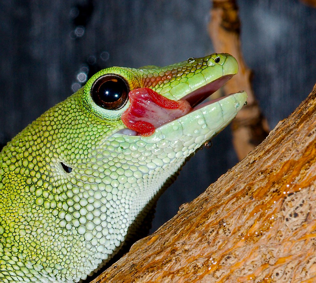 Day Gecko_5