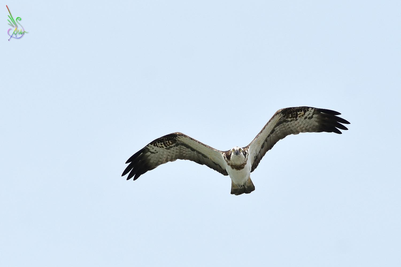 Osprey_2309