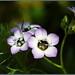 Small photo of Hidden Gilia