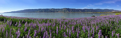 Lupines by the lake.