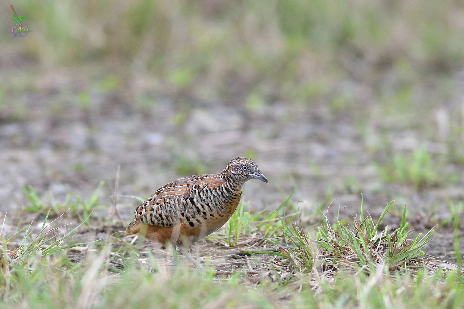 Barred_Buttonquail_8610