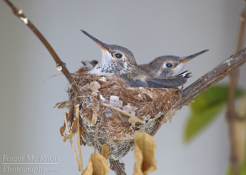 hummingbird hummingbirds annashummingbird chicks baby juvenile fledgling nest hummingbirdnest california wildlife nesting spring bird