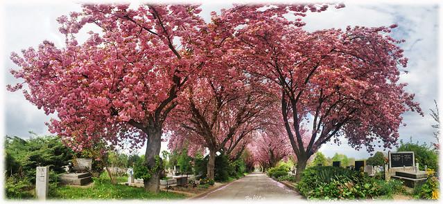 Japanese Cherry trees avenue