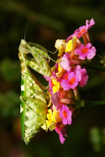 Jeweled Flower Mantis (Creobroter gemmatus, Hymenopodidae) on Lantana Umbels