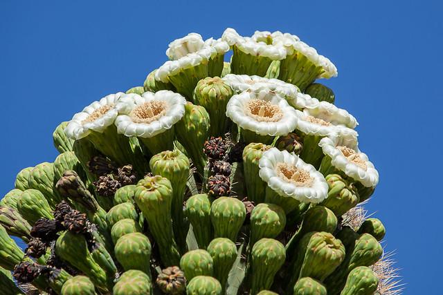 Top of a Saguaro Cactus in May