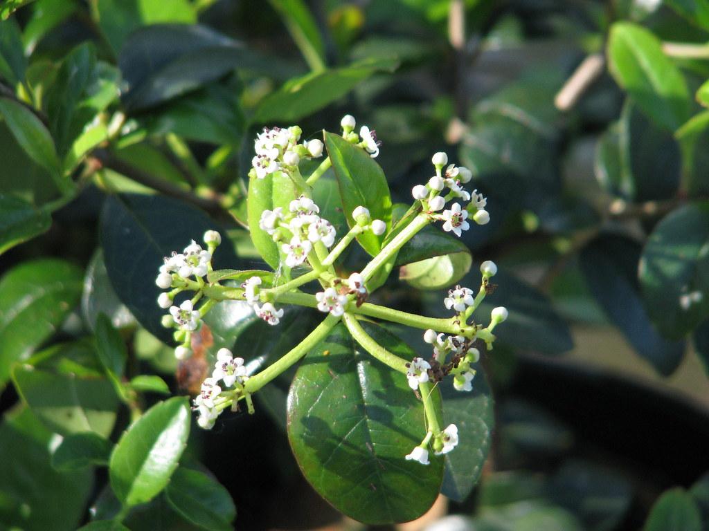 Viburnum atrocyaneum