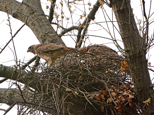 Red-Tailed Hawks in Nest (7667)