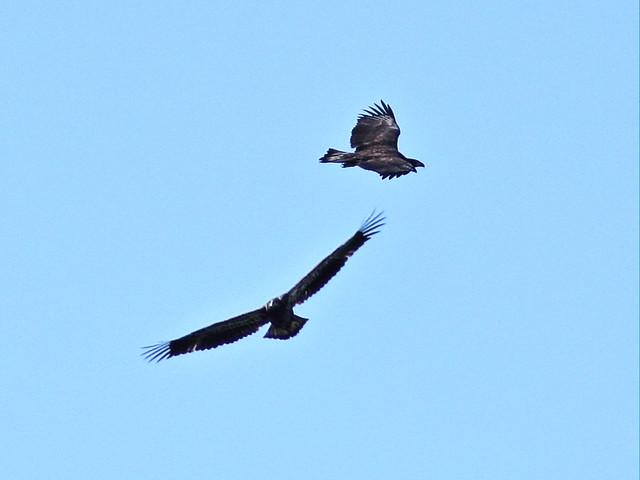 Bald Eaglets soaring 20140426