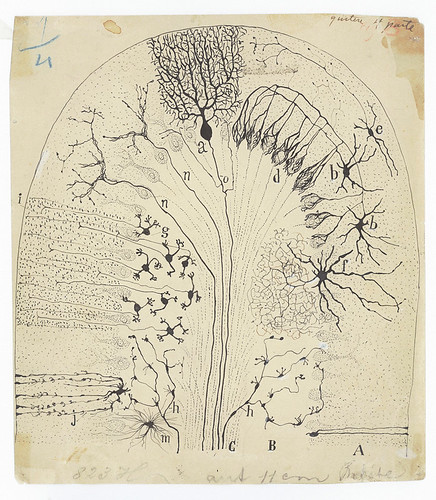 Cajal, Parasagittal section of the cerebellum