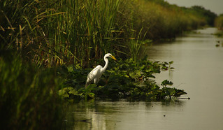 White Heron in the Everglades