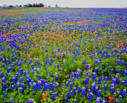 flower 120 mamiya film mediumformat texas bluebonnet 6x7 wildflower filmscan indianpaintbrush texaswildflowers mamiya7ii