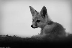 Desert Fox Pup...