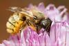 Red Mason Bee (Osmia bicornis/rufa)