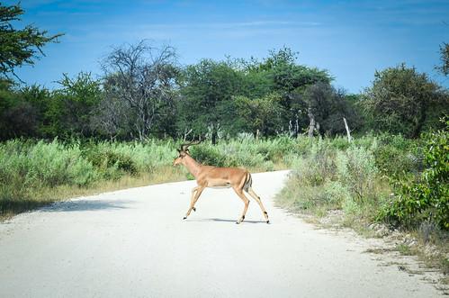 Black-faced impala, Etosha NP