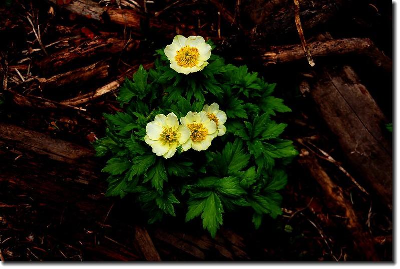 White Globeflower 1