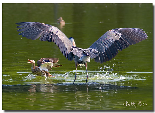 Great Blue Heron & Mallard