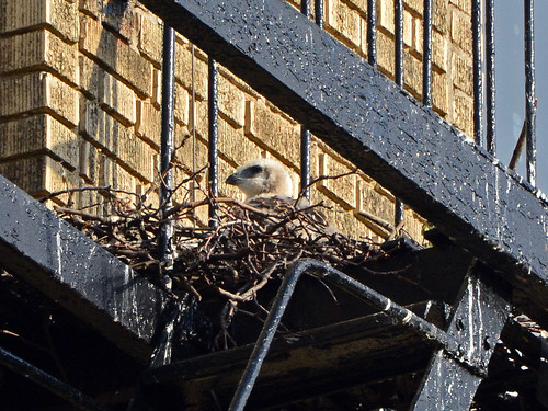 JHW Hawk Nestling (9788)