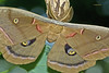 Polyphemus moth--Antheraea polyphemus by Gypsy Flores Photography