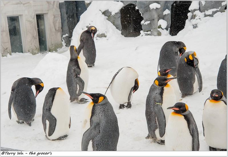 Day5 - 旭山動物園 - 企鵝散步-27
