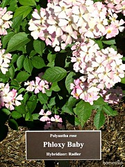 blossom(0.0), annual plant(1.0), shrub(1.0), cornales(1.0), flower(1.0), garden(1.0), hydrangea serrata(1.0), plant(1.0), lilac(1.0), flora(1.0), petal(1.0),
