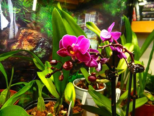 DSCN2716 Orchids