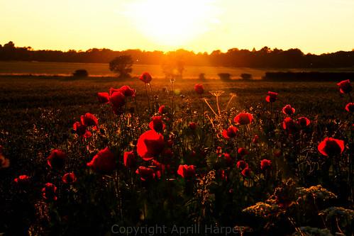 sunset poppies cloudsstormssunsetssunrises