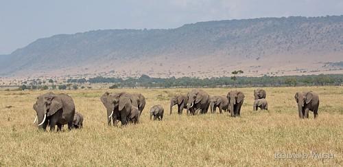 africa kenya safari mara afrika elephants kenia masai herde elefenten