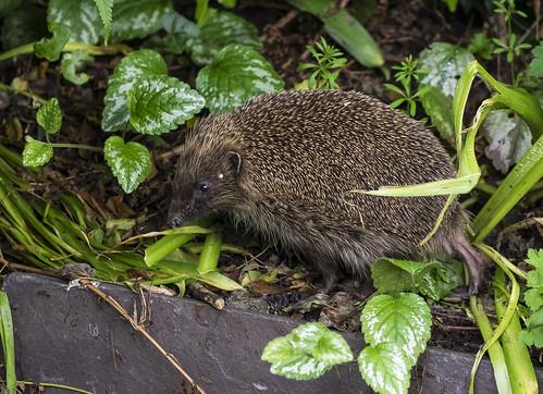 hedgehog 376 (1)