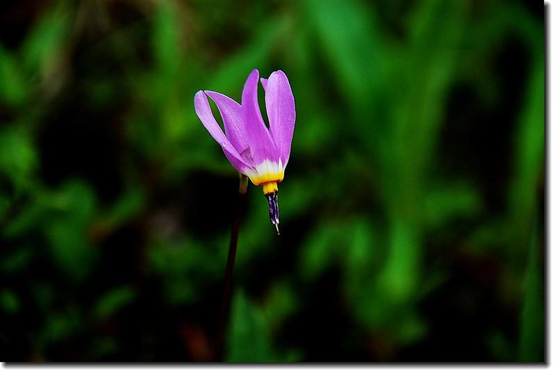 Shooting Star Flower 1