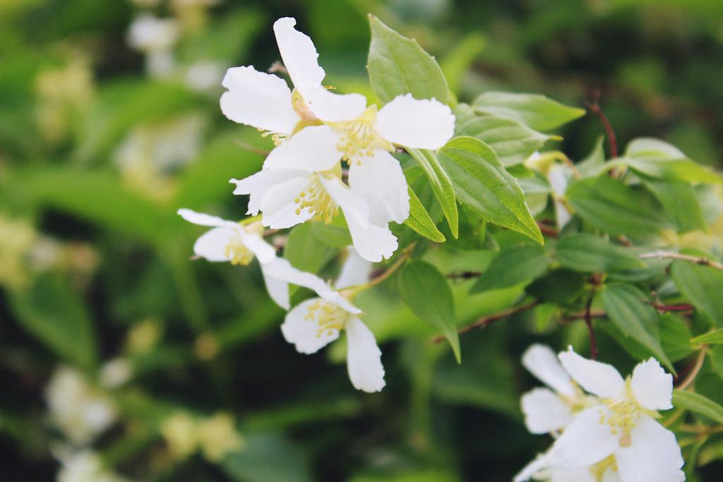 jasmin-flowers