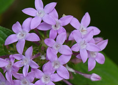 Starflower (pentas lanceolata)