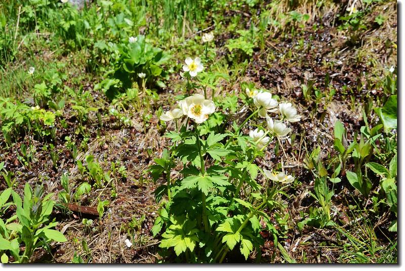 White Globeflower 5
