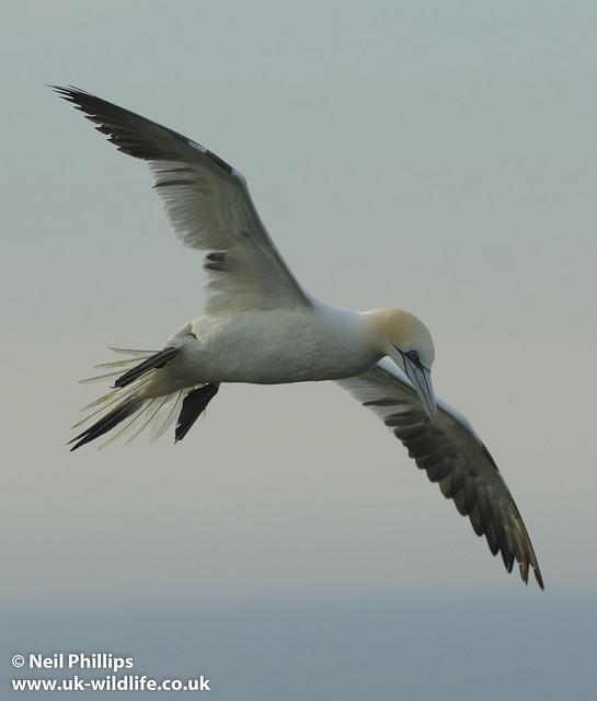 gannet flight-5