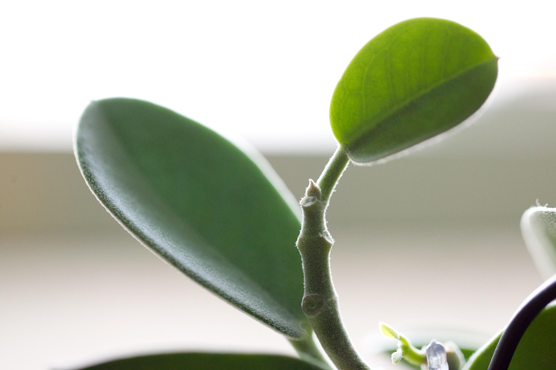 Hoya australis ssp. australis