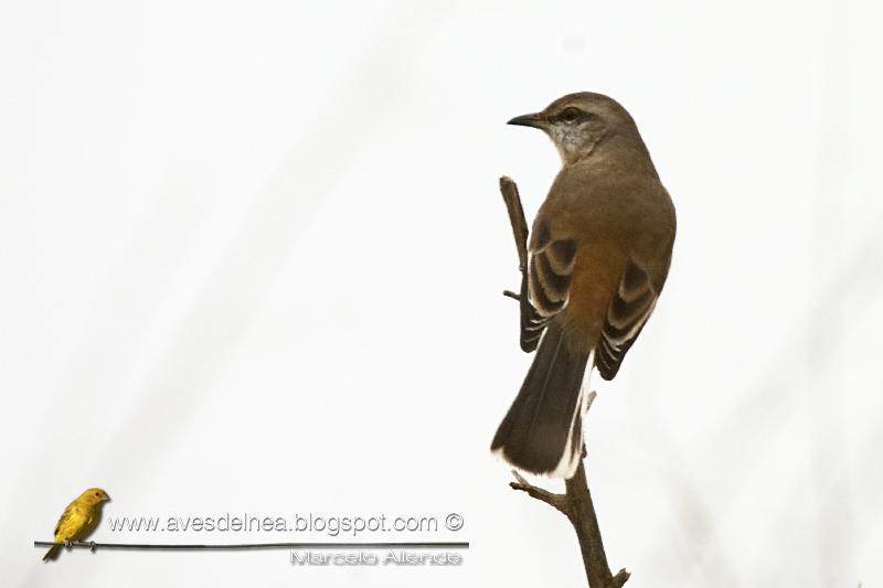 Calandria real (White-banded Mockingbird) Mimus triurus