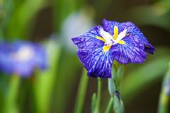 20140608_horikiri-iris-garden_031