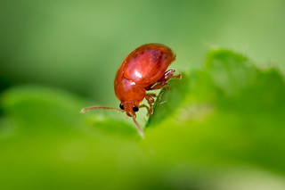 Sphaeroderma sp petit insecte rouge le monde des insectes - Insecte rouge et noir ...
