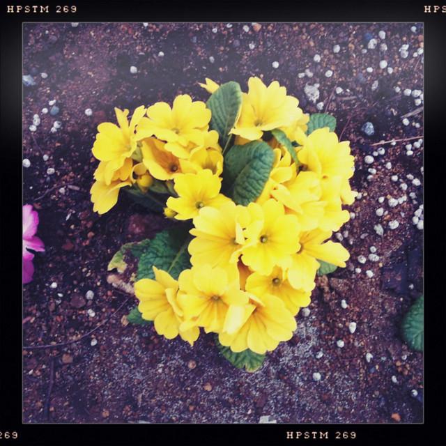 Hipstamatic-黄色い花