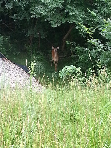Deer behind the NCASB