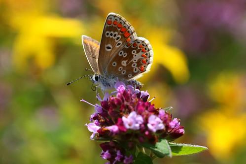 Brown Argus, Aricia agestis