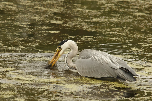 Grey Heron - Alternate Image