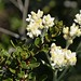 Small photo of Bicolored cudweed