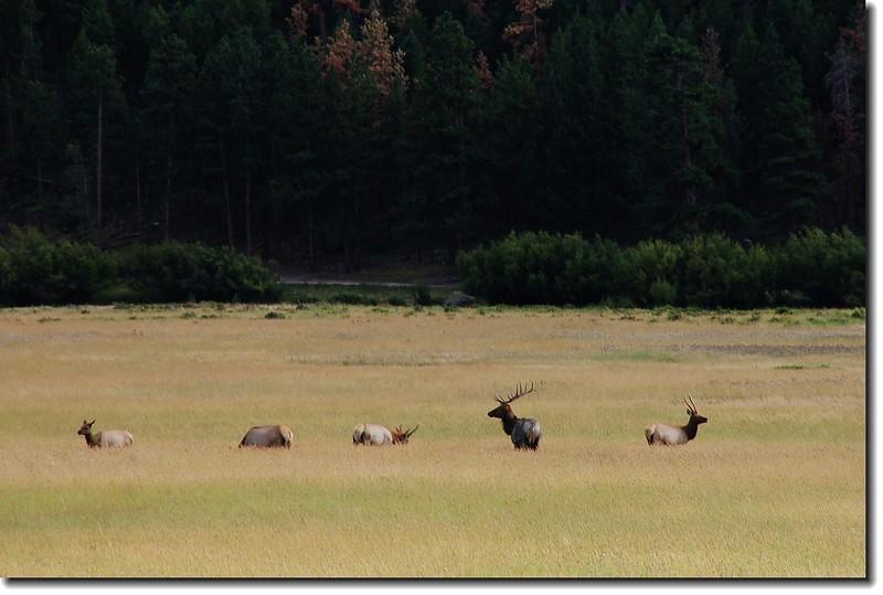 Elks in Moraine Park 2