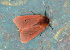 2064 Ruby Tiger - Phragmatobia fuliginosa