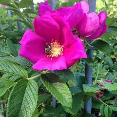 garden roses, flower, rosa gallica, rosa rubiginosa, flora, rosa acicularis, rosa rugosa, petal,