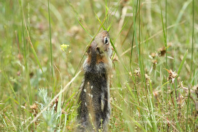 2014.07.29GoldenMantleGroundSquirrel01