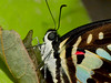 Common jay (Graphium doson) Closeup