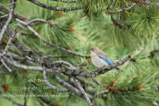 2014.07.31MountainBluebird