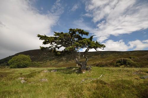 Gnarled tree Glen Tromie
